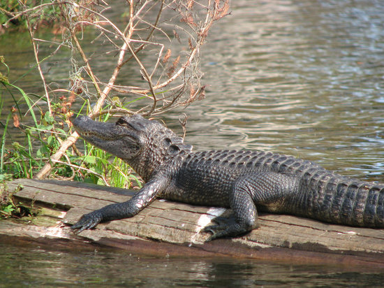 Champagne's Cajun Swamp Tours: gator in the swamp