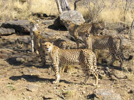 Amani Lodge : Cheetahs on the Big Cats Tour