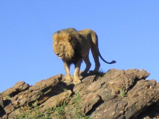Amani Lodge: Lion on the Big Cats Tour