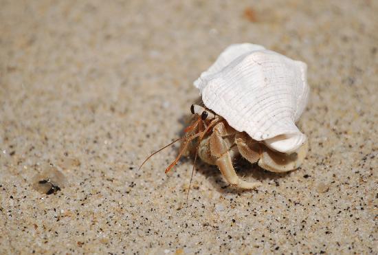 Century Langkawi Beach Resort Hermit Crab On
