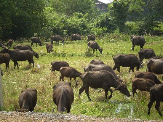 The Fortress: Water Buffalo