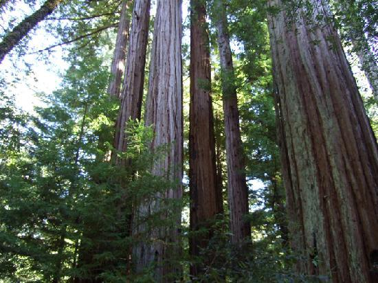 Big Basin Tent Cabins : A view of the redwoods from a trail