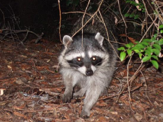 Boulder Creek, Kalifornien: A racoon that was checking out our campsite