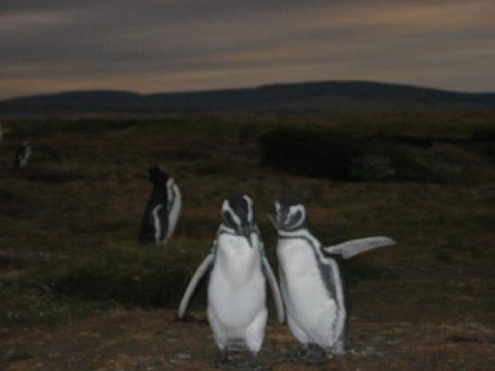 Punta Arenas, Chile: Penguin Couple