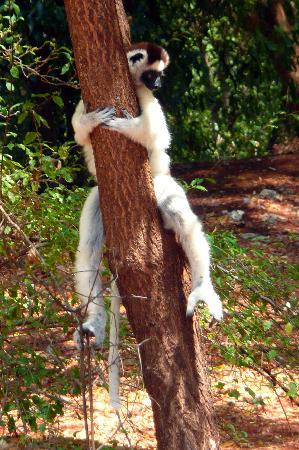 Berenty Private Reserve, Madagascar : Sfaka lemur, hanging around Berenty