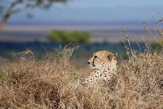 Mara Serena Safari Lodge: Cheetah lazing in the morning sun