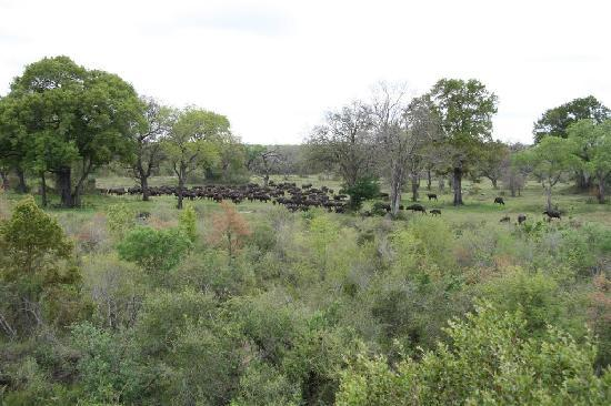 Elephant Plains Game Lodge: Watching Cape Buffalo from our Deck