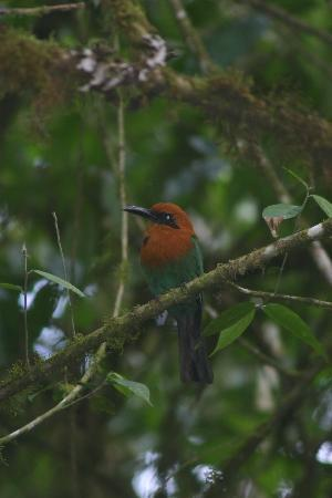 Hosteria Septimo Paraiso : Rufous Motmot I photo'd on trail