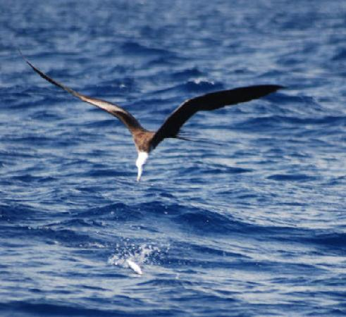 Bavaro Beach: Bird going for our Baitfish on our Tripadvisor Cruise November 14th 2007