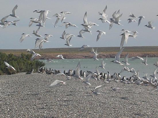 Puerto Deseado, Arjantin: Terns colony
