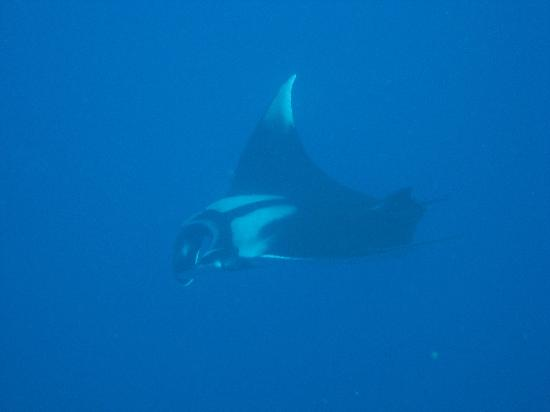 Ko Lanta, Thailandia: Manta Ray on Hin Daeng