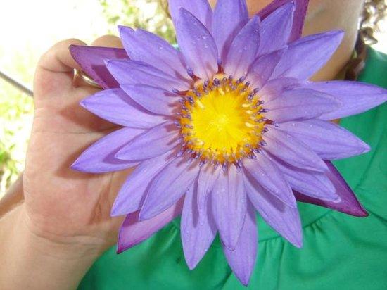 Lotus Flower National Flower Of Sri Lanka Picture Of Avani