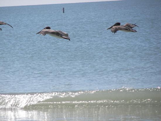 Gulfview Manor Resort: pelicans feeding in water out from Gulfview manor