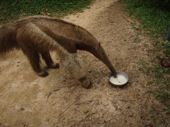 Iquitos, Peru: Giant Anteater