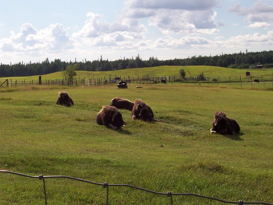 Musk Ox Farm: The scene