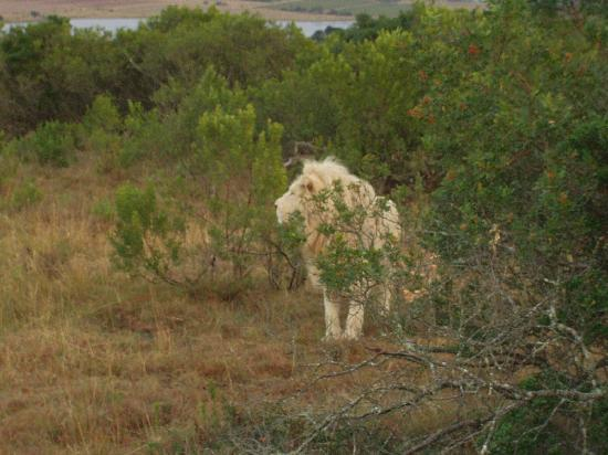 Pumba Private Game Reserve: White lion at the Pumba Game Reserve