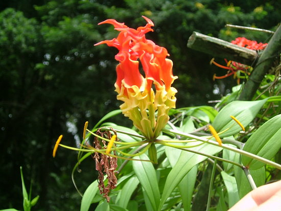 Kandy, Sri Lanka: flour botanical garden