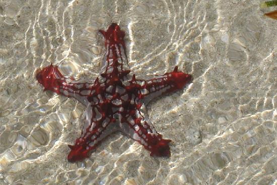Tanga, แทนซาเนีย: live starfish