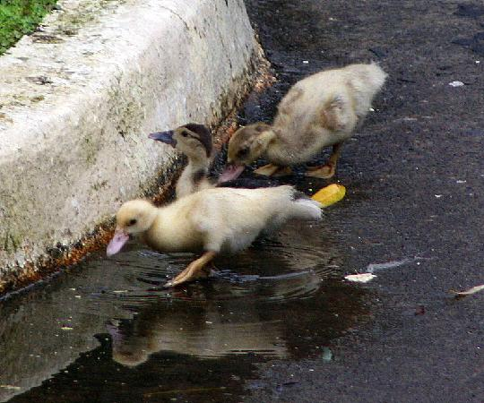 ‪‪Volcan‬, بنما: Baby Ducks Playing After Rain‬