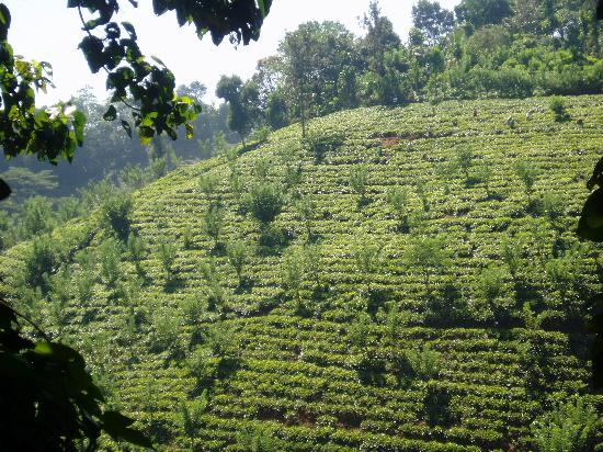 Hotel Tree of Life : view of tea plantation