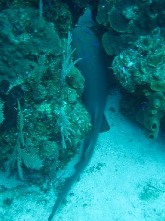 Glover's Atoll Resort: Nurse Shark