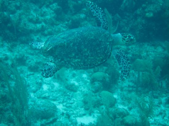 Glover's Atoll Resort: Turtle
