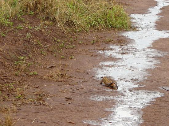 Akagera National Park: Turtle