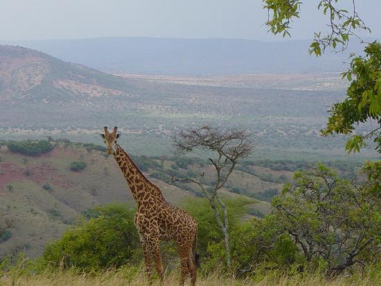 Akagera National Park : Giraffe
