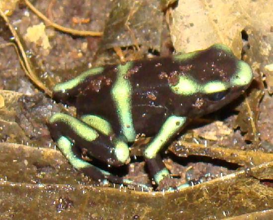 Reserva Biologica Carara: Carara Green & Black Frog