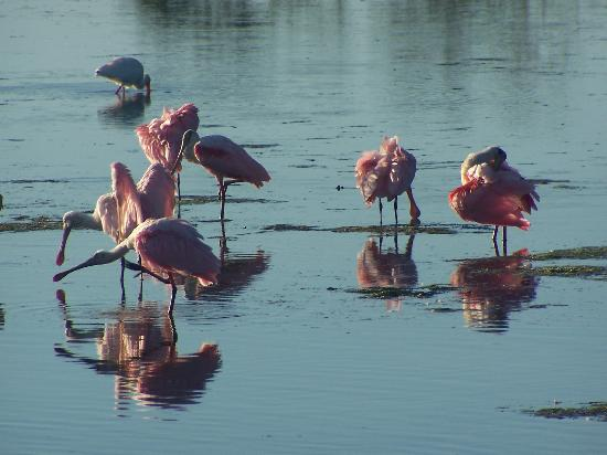 Isla de Sanibel, FL: Roseate Spoonbills at Refuge