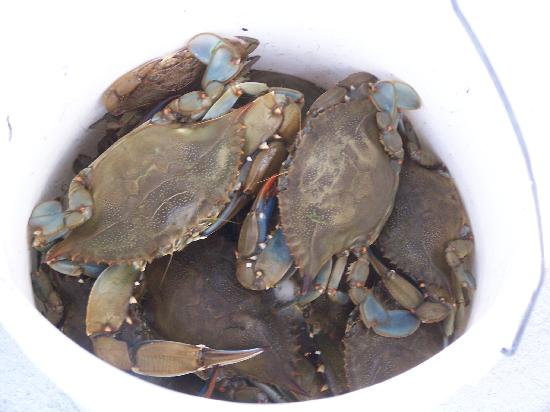Wyspa Sanibel, Floryda: Blue Crabs Caught by Dip Net at the Refuge
