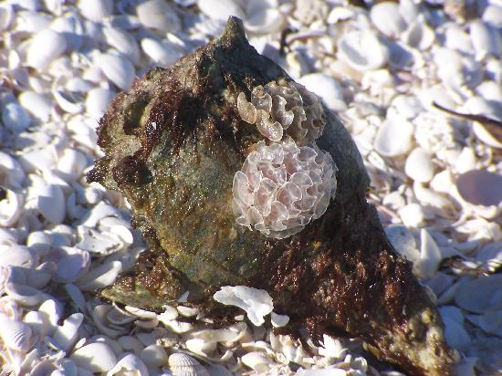 Sanibel Island, FL: Horse Conch and Shells at the Beach