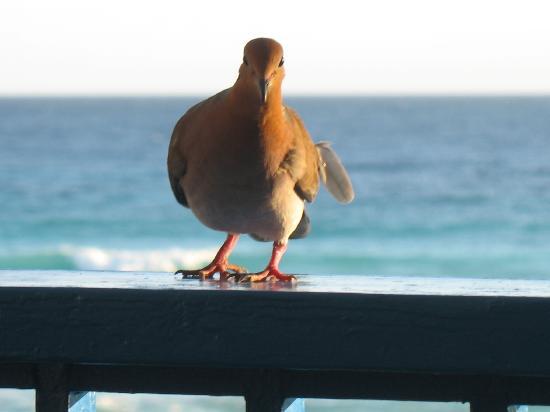 South Gap Hotel: Our pet Dove