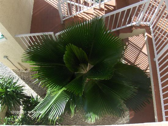 Plantation Village Beach Resort: Looking down into a palm tree from the 3rd floor