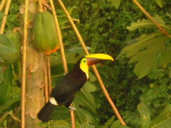 Leaves and Lizards Arenal Volcano Cabin Retreat: Mr Toucan eating his papaya