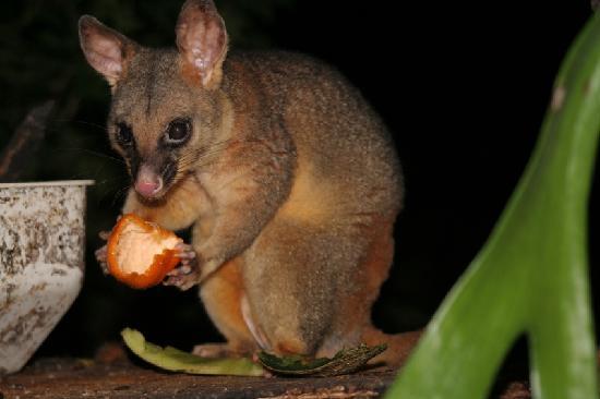 New Friends B & B: FlipWinschoten a possum
