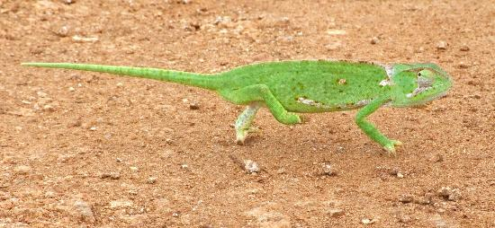 Diani Paradise Villas: A chameleon we spotted on walk to the shops!