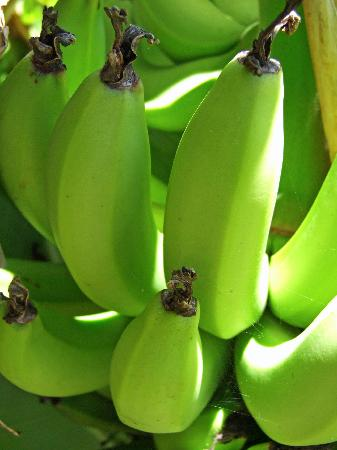 Diani Paradise Villas: Bananas growing in the garden