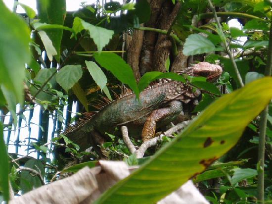 Aguila de Osa Inn: Iguana