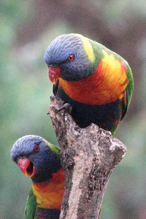 Crafers, Australien: These Rainbow Lorikeets know where to get a free meal