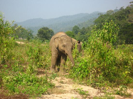 Golden Cupids Hotel: Taking the elephants for a walk at the Elephant Nature Park