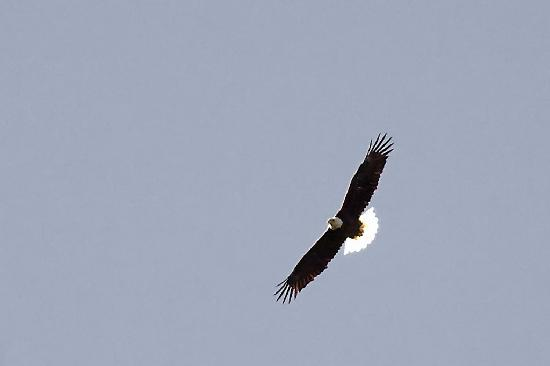 Vanishing Texas River Cruise: Bald Eagle