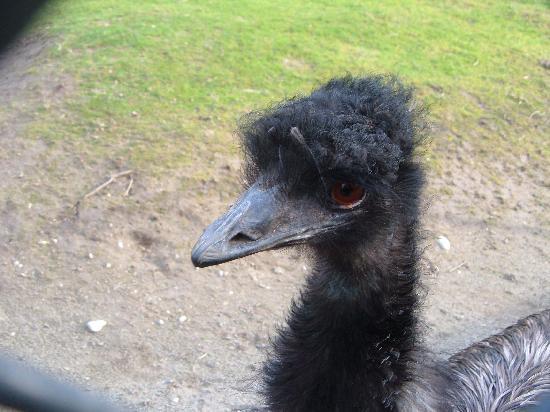 Woodland Park Zoo : Emu