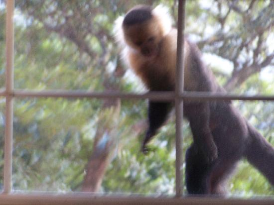 Rainbow Valley Lodge: White Capuchin Monkeys right in our window!