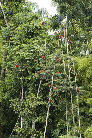 Manu National Park, Peru: Macaws