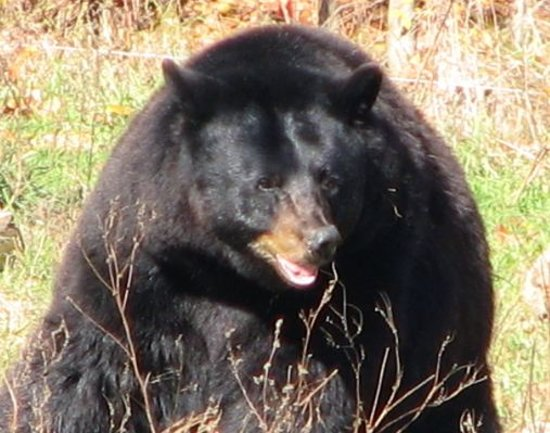 Durham, Carolina del Norte: Black Bear