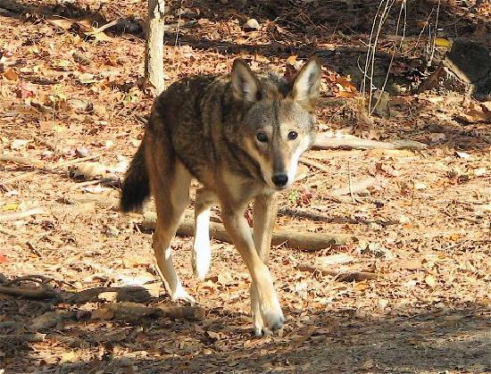 Museum of Life + Science: Red Wolf