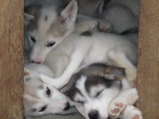 Lazy Bear Lodge : Dave's Pups