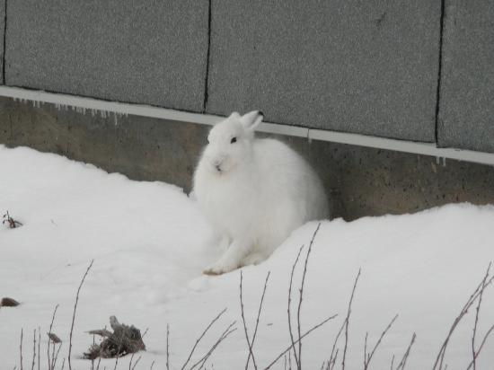 Lazy Bear Lodge : Artic Hare At Polar Jail