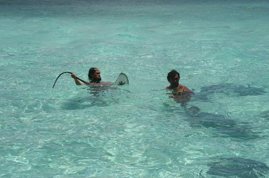 Bora Bora, French Polynesia: Sting ray:s